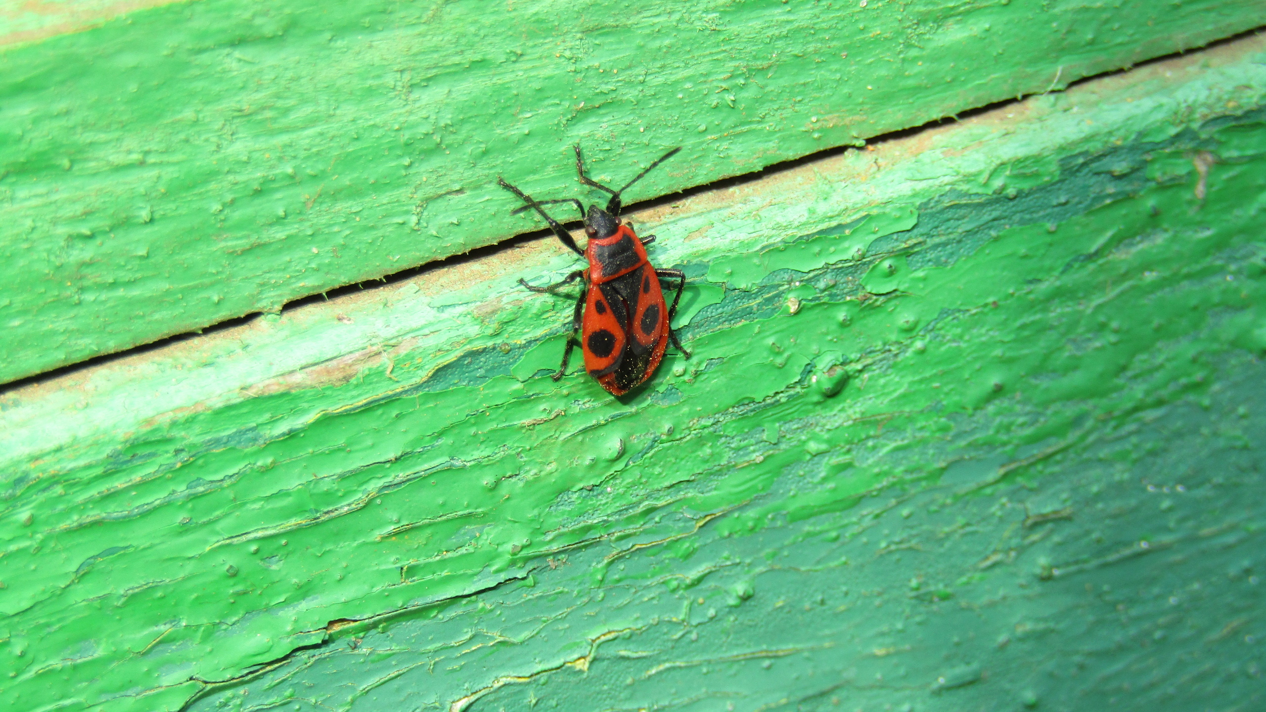 красный, насекомое
