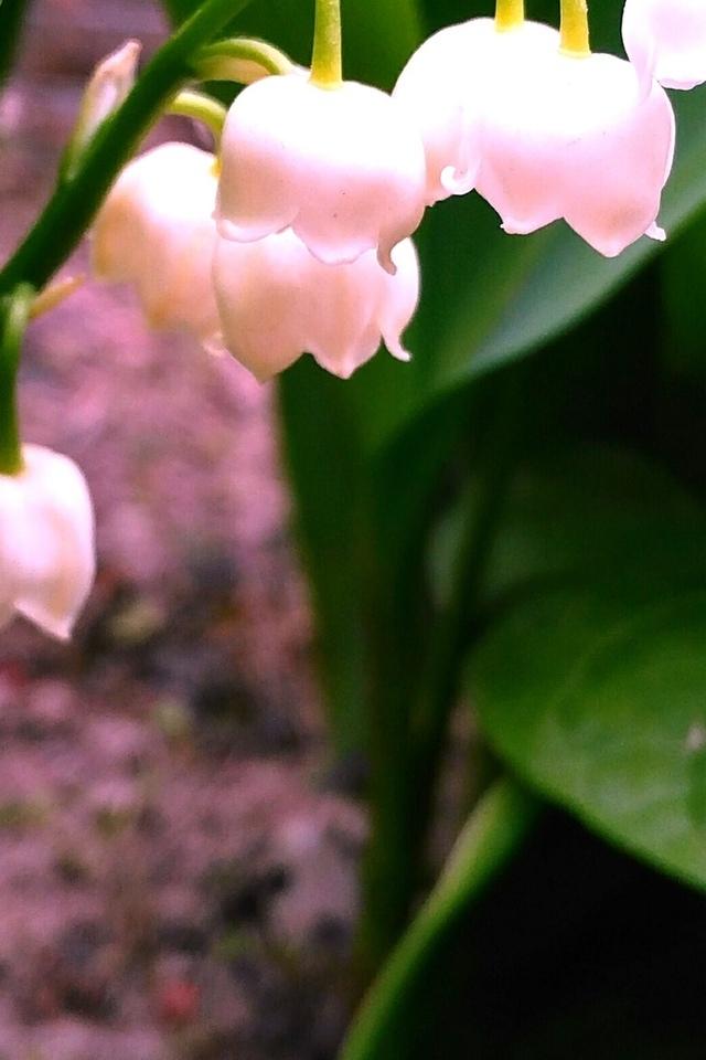 ландыши, цветы