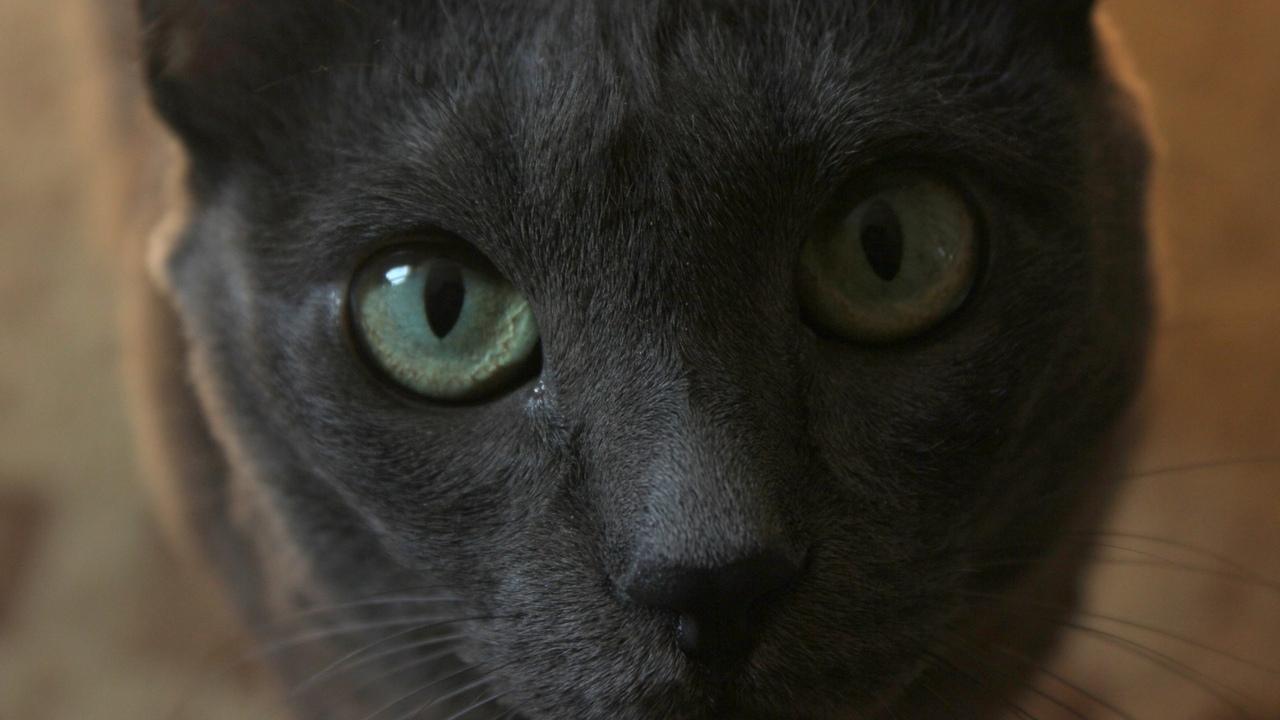 кот, серый, взгляд, животное