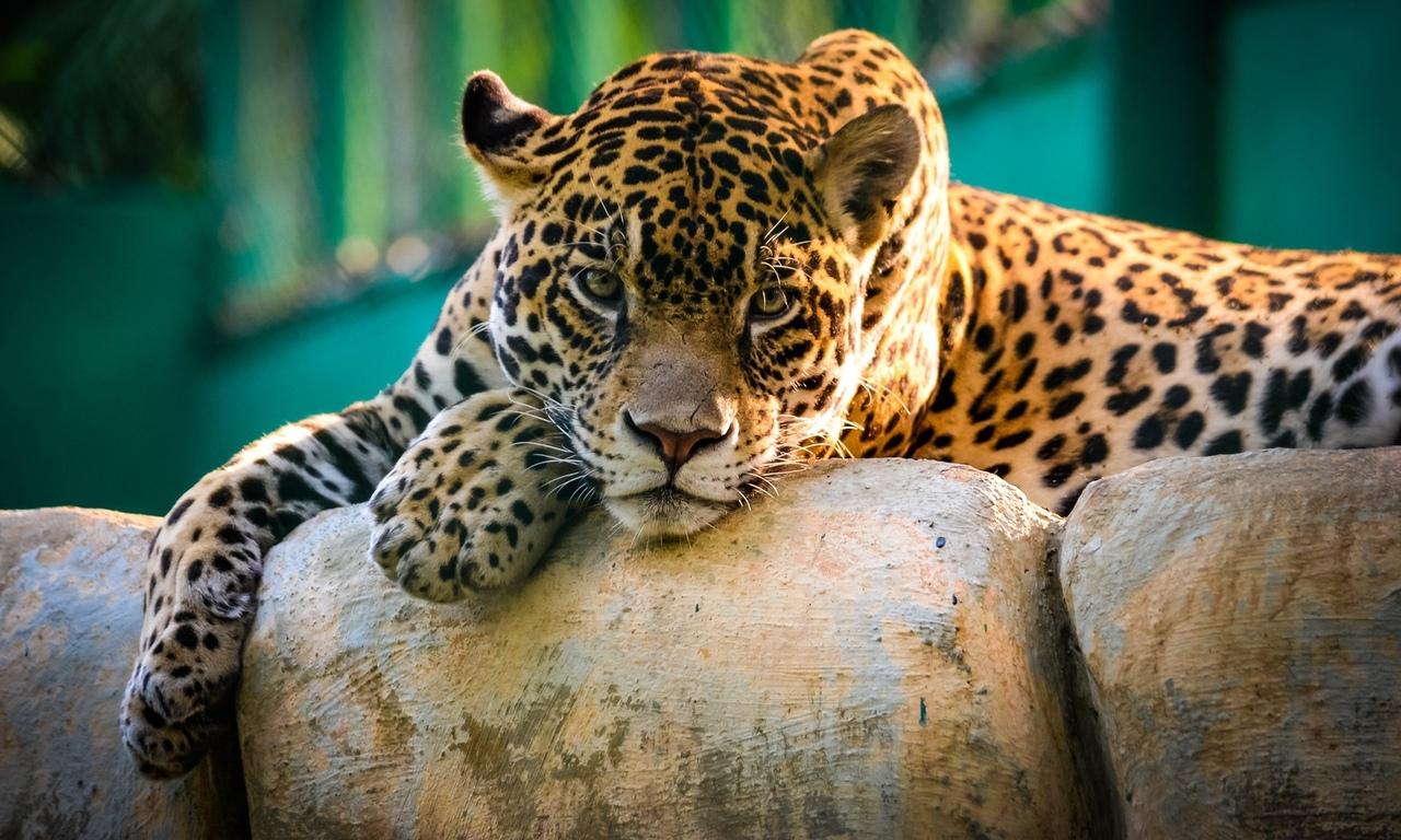 леопард, кошки, животные