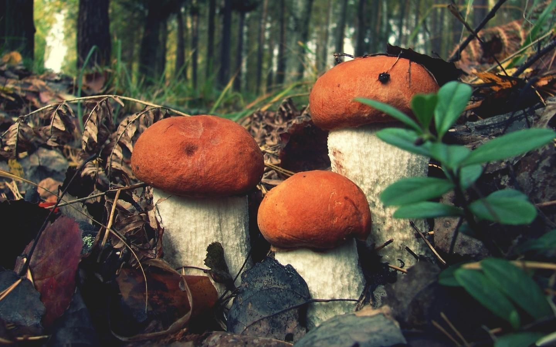 крупным планом, гриб, лес, природа