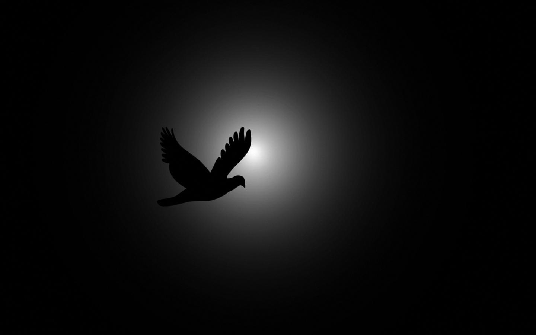 птица, голубь, на бело черном, фоне